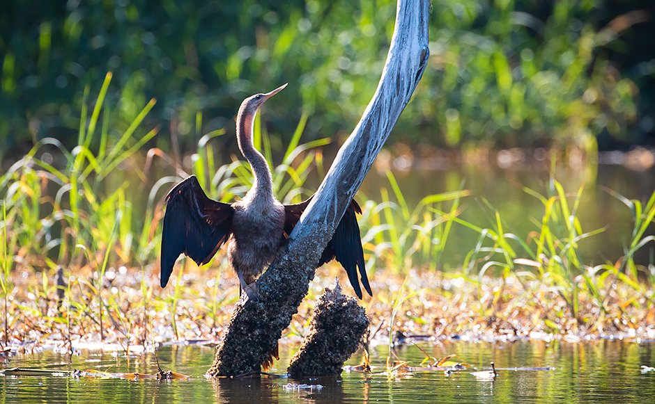 An Anhinga dries its wings in the mangrove lagoon.