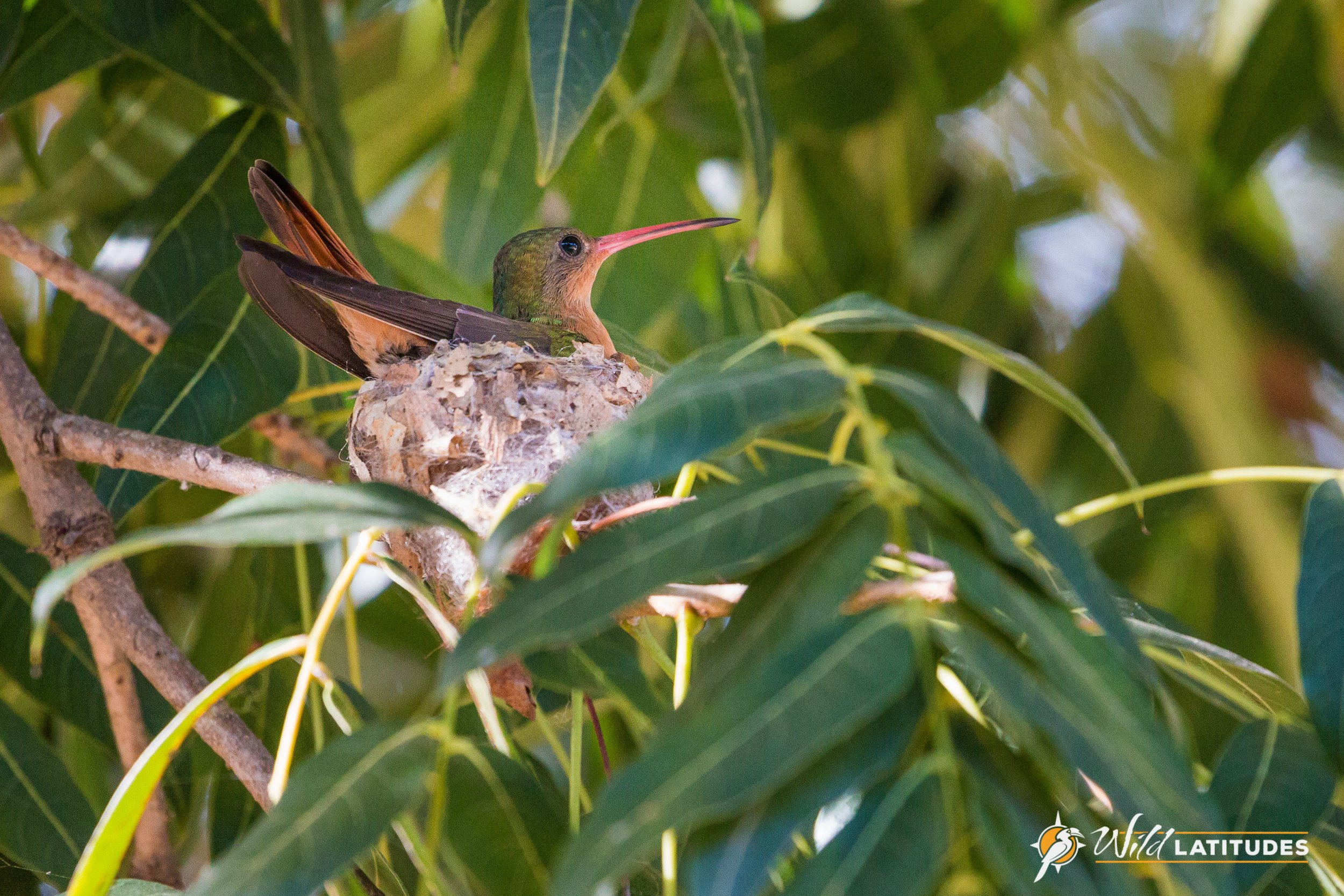 Cinnamon Hummingbird on her nest
