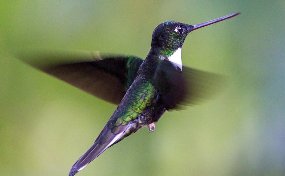 Collared Inca Humminbird by Ivan Phillipsen