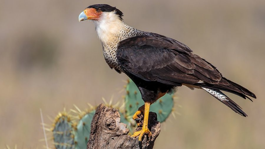 Crested Caracara: Not Your Everyday Falcon