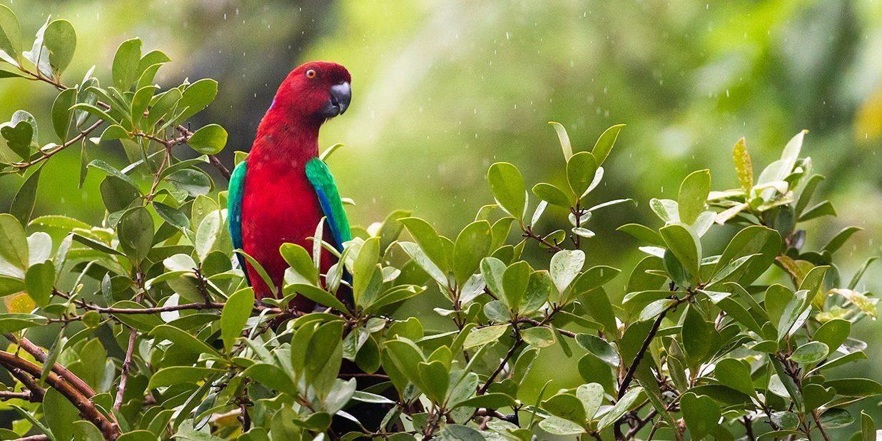 Crimson Shining-Parrot on Kadavu Island