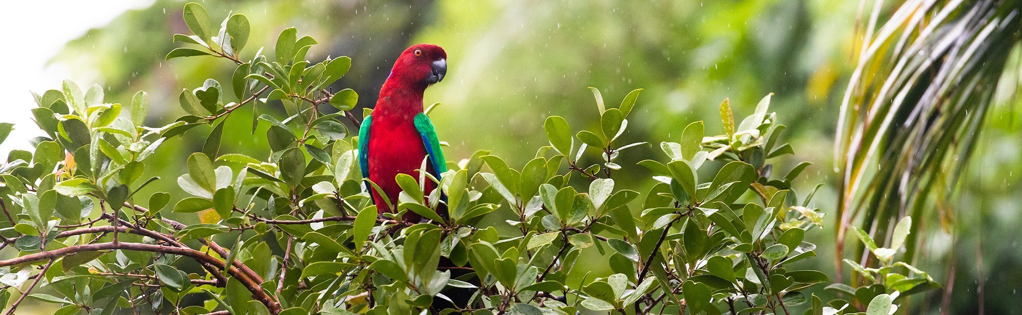 Crimson Shining-Parrot on Kadavu Island