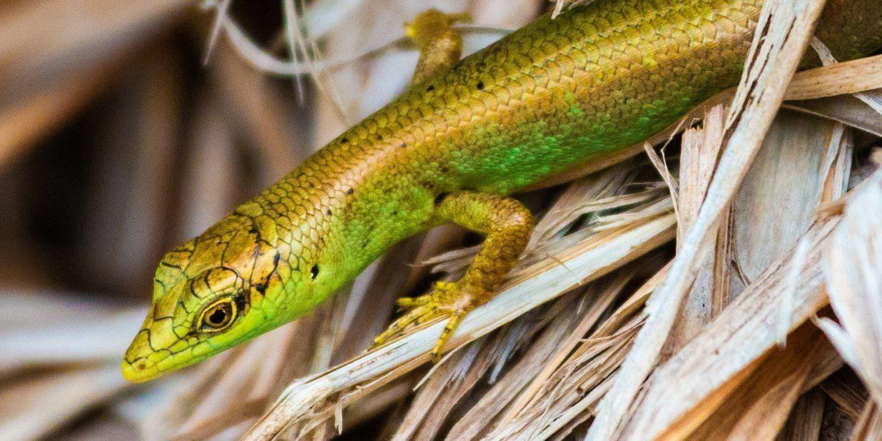 Fiji Green Emo Skink (Emoia concolor)