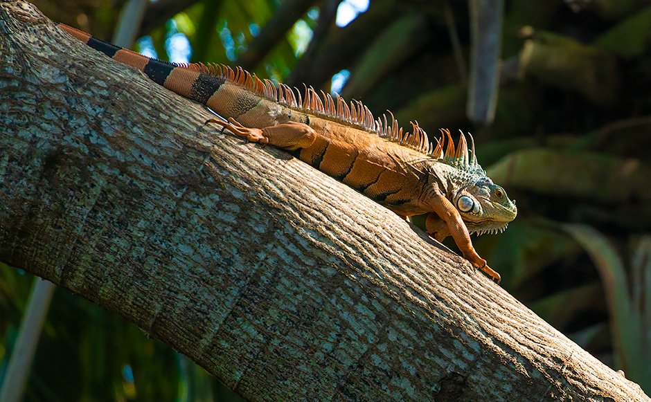A massive male Green Iguana near Oaxaca's southern coast