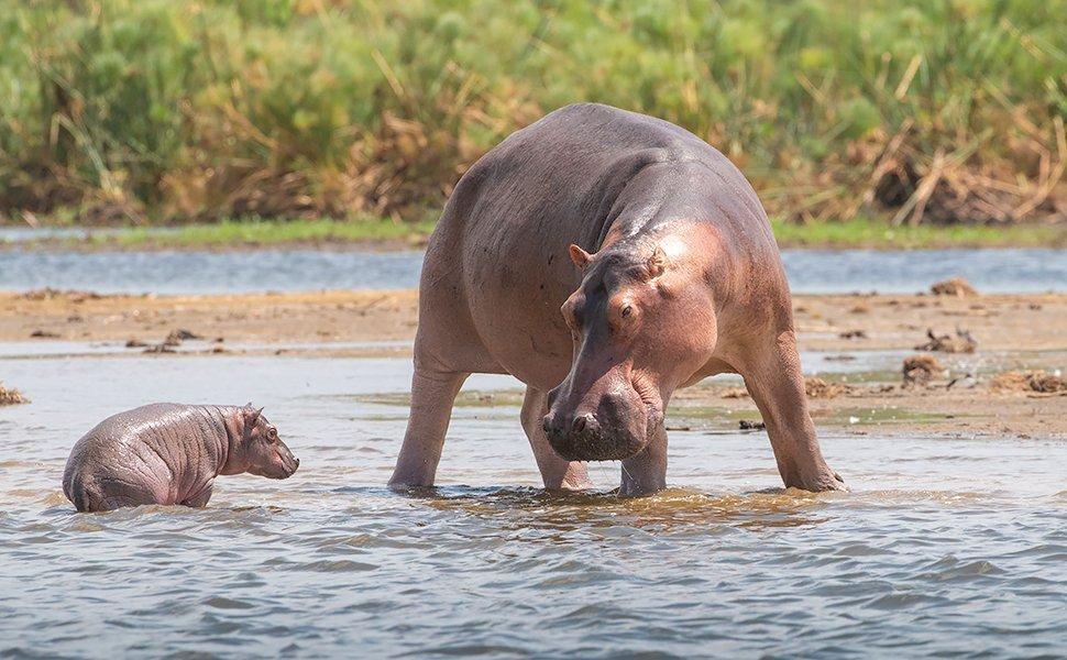Hippopotamus cow and calf in Uganda