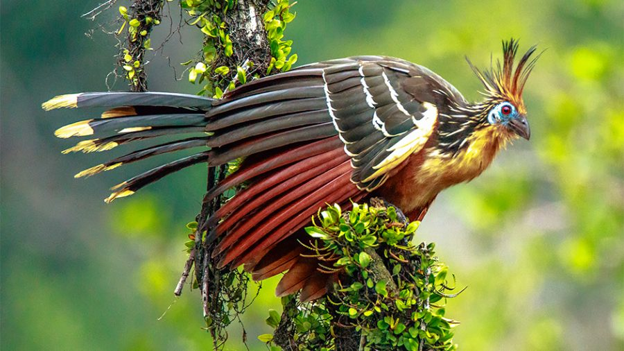 The Hoatzin: A Weird and Wonderful Bird
