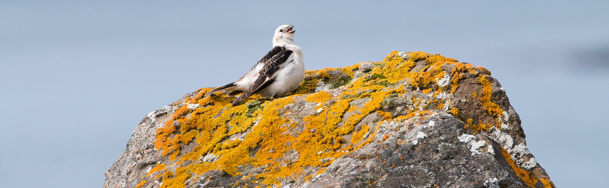 Male Snow Bunting singing