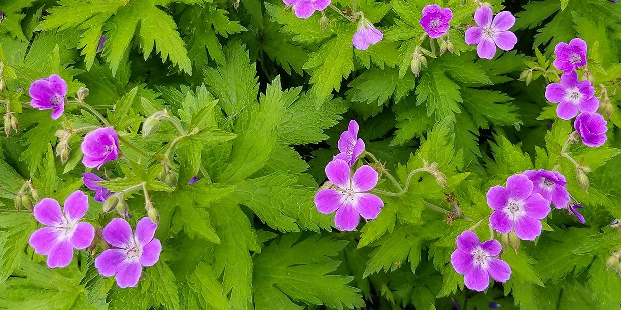 Wood Crane's-bill wildflowers