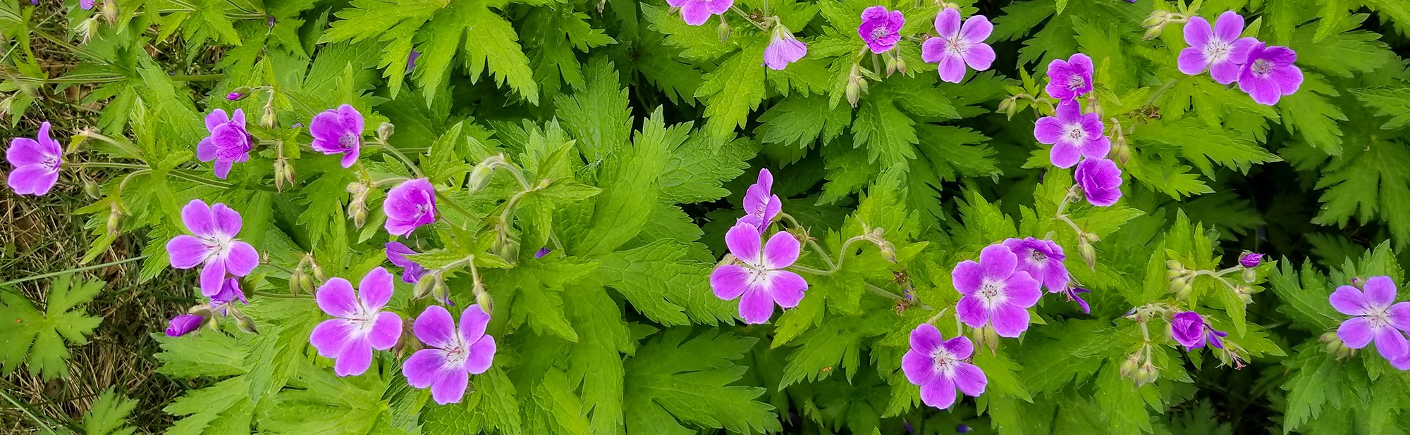 Wood Crane's-bill wildflowers
