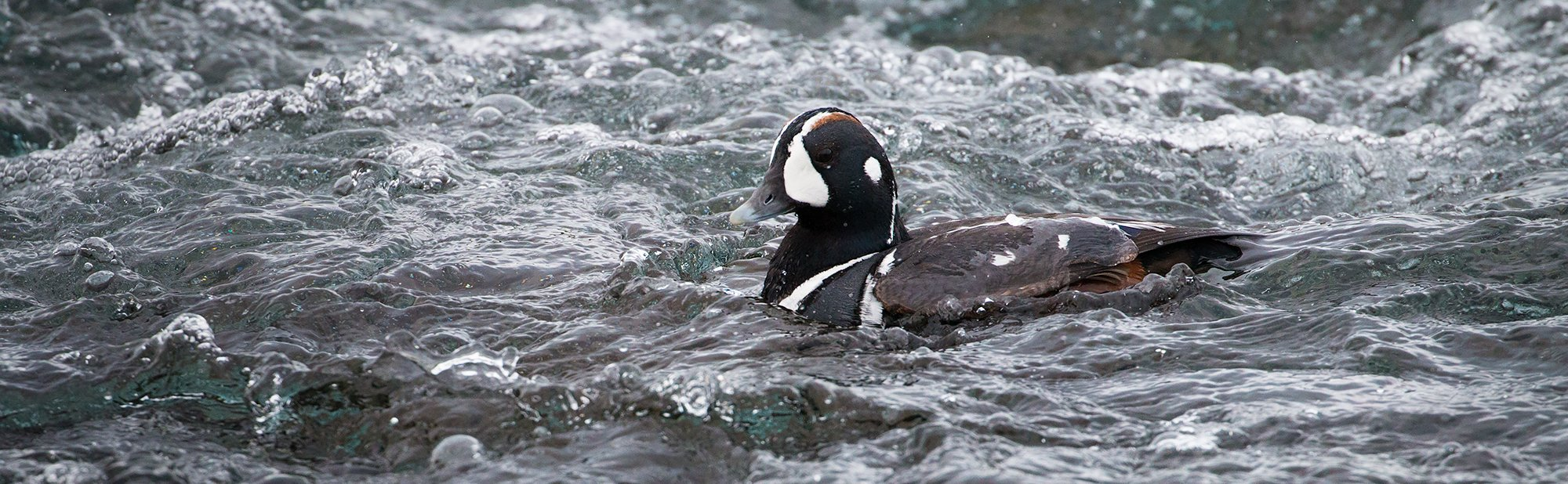 Harlequin Duck in Iceland