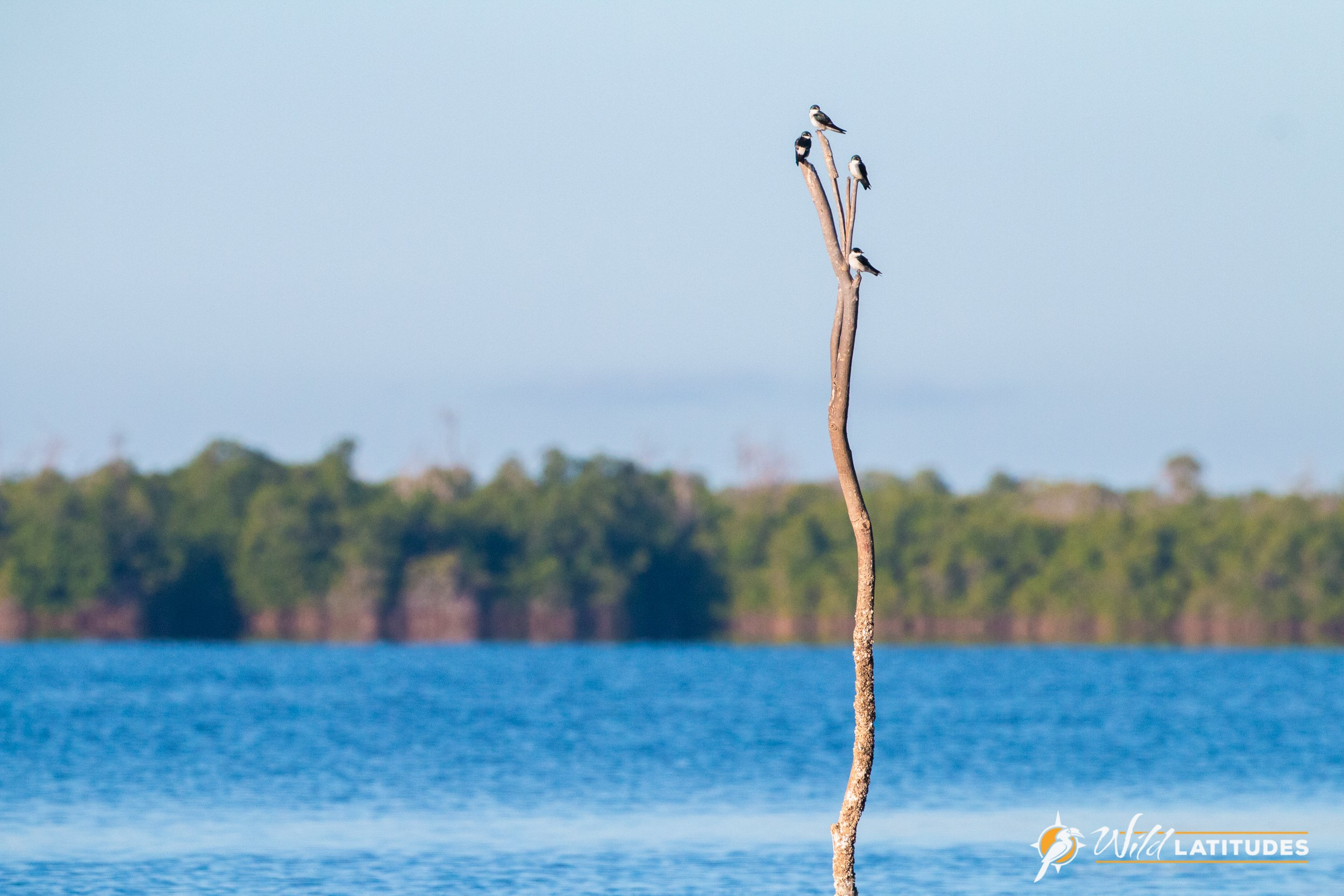 Mangrove Swallows