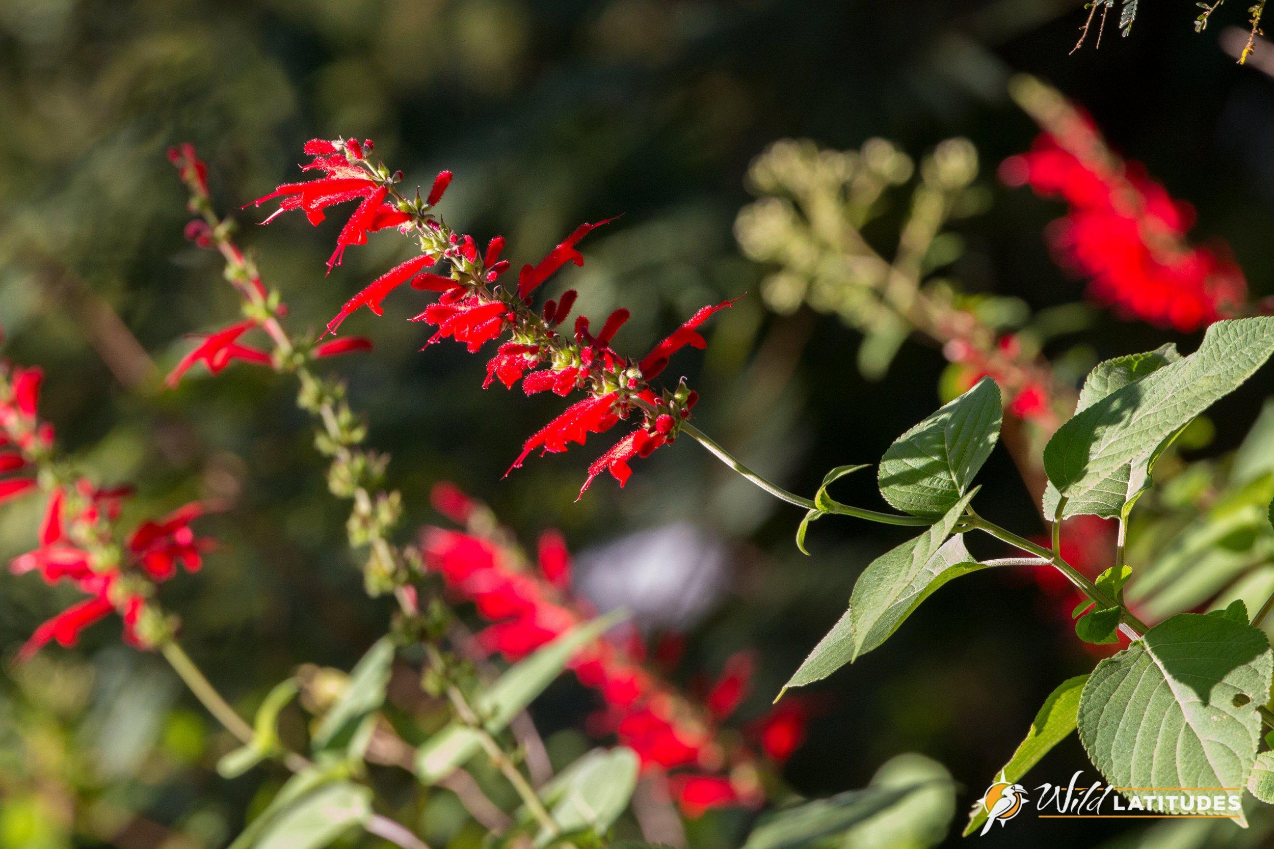 Cinnabar Sage (Salvia cinnabarina)