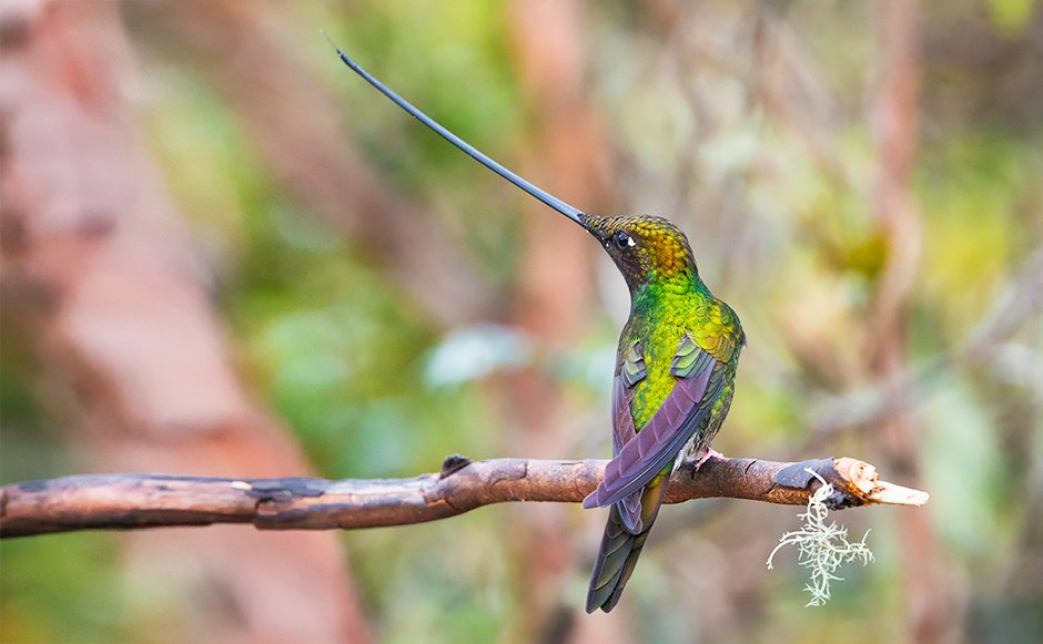 Swordbilled Hummingbird