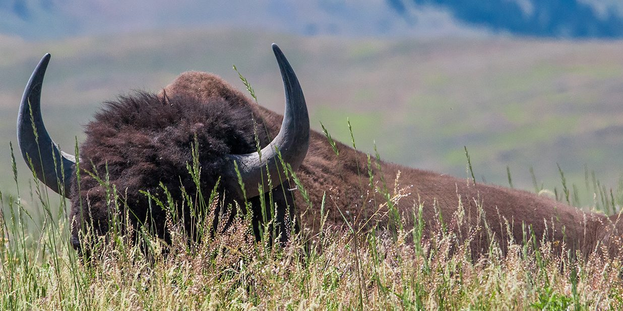 A Bison resting in the grasslands